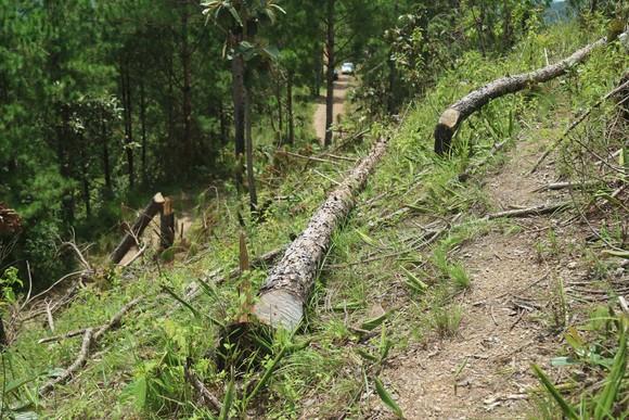 """UBND tỉnh Lâm Đồng chỉ đạo điều tra vụ """"cạo trọc"""" rừng thông lấy đất sản xuất ảnh 1"""