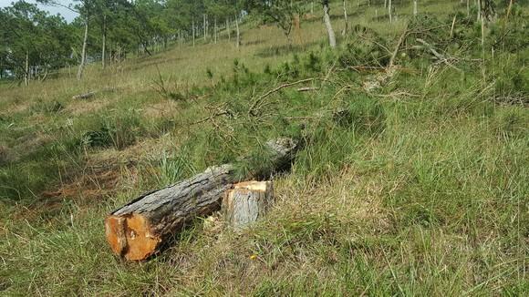 Thuê người cưa thông, lấn hơn 1.200m² đất rừng ở Đà Lạt ảnh 2