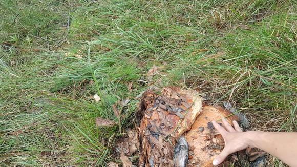 Thuê người cưa thông, lấn hơn 1.200m² đất rừng ở Đà Lạt ảnh 4