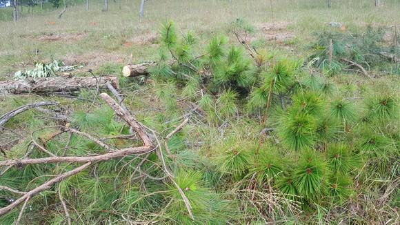Thuê người cưa thông, lấn hơn 1.200m² đất rừng ở Đà Lạt ảnh 5