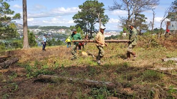 Trồng lại 8.500 cây thông trên đất rừng bị phân lô, lấn chiếm ở Đà Lạt ảnh 1