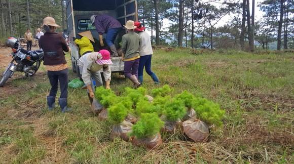 Trồng lại 8.500 cây thông trên đất rừng bị phân lô, lấn chiếm ở Đà Lạt ảnh 4