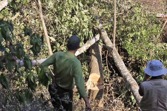 Phá rừng phòng hộ bị phạt 337,5 triệu đồng ảnh 1