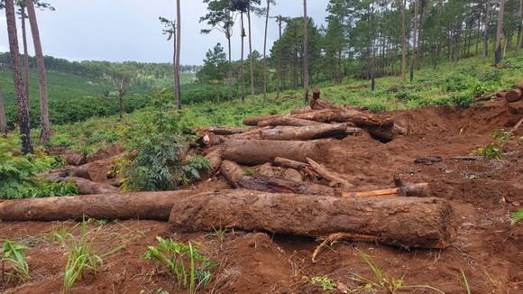 Lâm Đồng: Liên tục phát hiện gỗ thông bị chôn dưới vườn cà phê ảnh 2