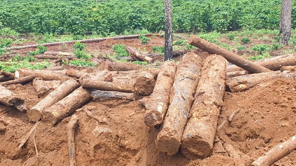 Lâm Đồng: Liên tục phát hiện gỗ thông bị chôn dưới vườn cà phê ảnh 1