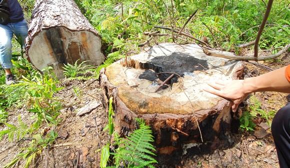 Phó Thủ tướng Trương Hòa Bình yêu cầu xử lý nghiêm vụ phá rừng thông cổ thụ ở Lâm Đồng ảnh 1