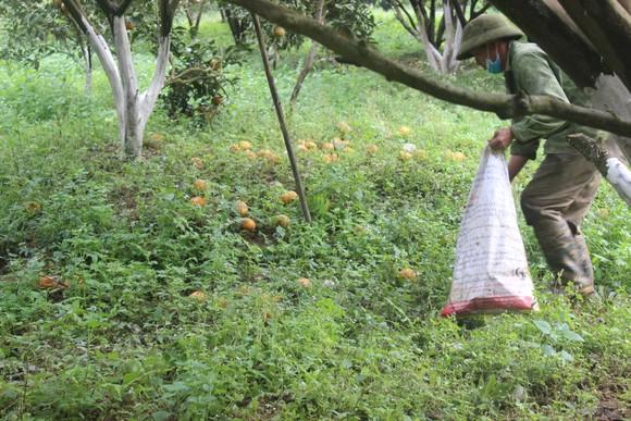 Nguyên nhân khiến hơn 8.000ha cam Hà Giang rụng lăn lóc  ảnh 3