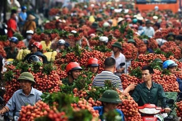 Sau Nhật Bản, Vải thiều Việt Nam tiến sang Singapore ảnh 1
