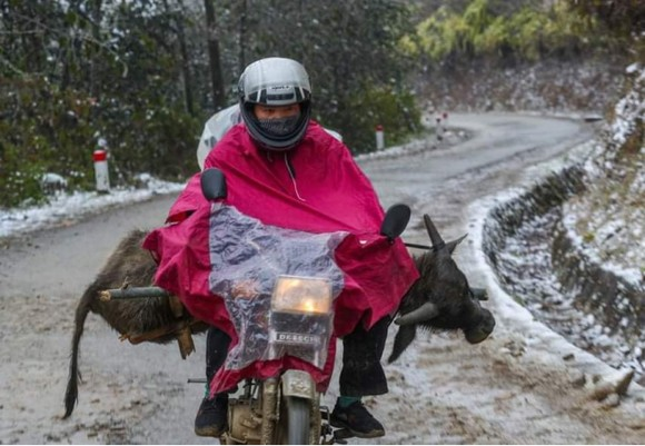 Thừa Thiên - Huế bị 'nhắc' vì để 900 con trâu, bò chết rét ảnh 1