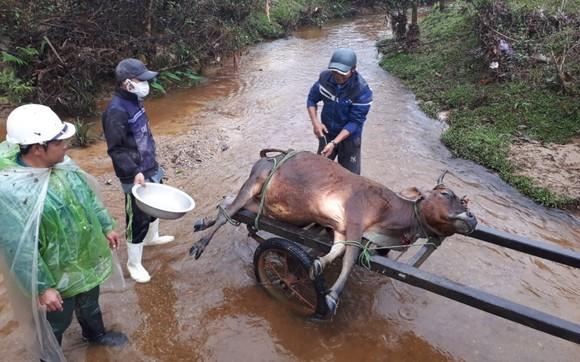 Hàng trăm gia súc chết cóng, 'huyện báo cáo 2, tỉnh bảo 1' ảnh 1