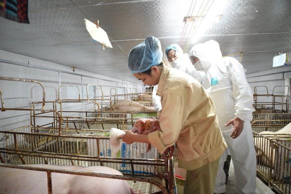 Tìm ra kháng thể trong đàn heo nhiễm bệnh dịch tả heo châu Phi ảnh 2