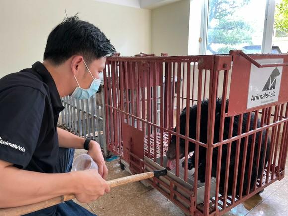 Giải cứu một con gấu ngựa ở Điện Biên ảnh 1