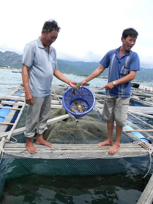 Cá nuôi lồng bè lại chết hàng loạt ảnh 2
