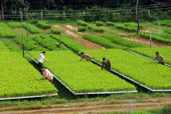 Workers take care of acacia seedlings at a nursery in the south central province of Bình Định. The seedlings will be transported to other localities within and outside the province for use in reforestation programmes. (Photo: VNA/VNS)