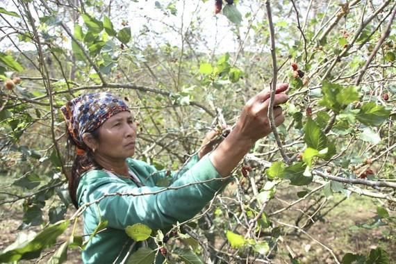 A farmer harvests back berry (Photo: SGGP)