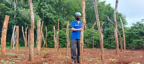 Phát triển bền vững cây tiêu - Bài 1: Quy hoạch 50.000ha, thực tế 130.000ha ảnh 1