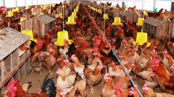Người dân nhiều quận huyện ở Hà Nội sẽ không được nuôi gia súc, gia cầm ảnh 2