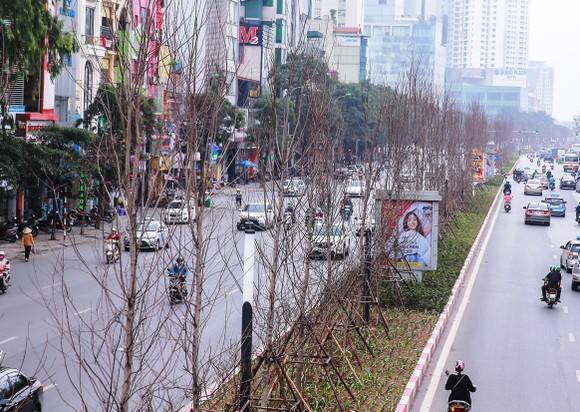 Vì sao hàng cây phong lá đỏ ở Hà Nội bị thay thế? ảnh 1