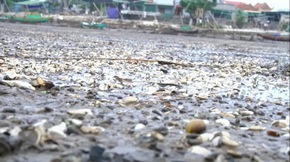 Nghêu nuôi chết sau mưa mưa lũ, người dân Hà Tĩnh bị thiệt hại nặng ảnh 5