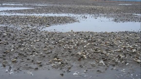Nghêu nuôi chết sau mưa mưa lũ, người dân Hà Tĩnh bị thiệt hại nặng ảnh 6