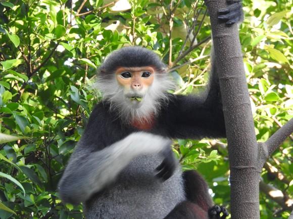 Ghi nhận 8 loài linh trưởng nguy cấp quý hiếm tại Vườn Quốc gia Vũ Quang ảnh 7