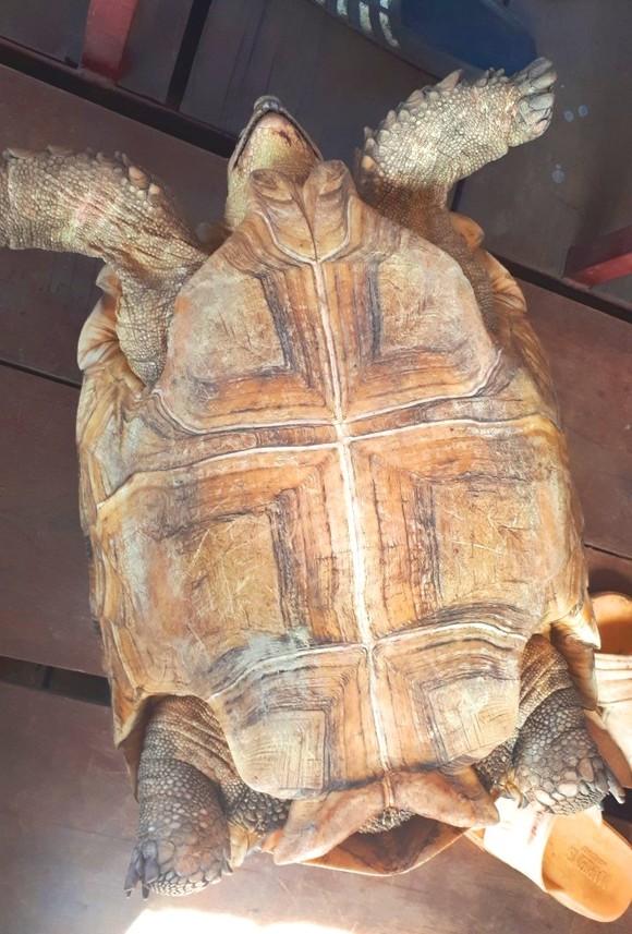 Thả cá thể rùa quý hiếm nặng gần 17kg về môi trường rừng tự nhiên ảnh 1