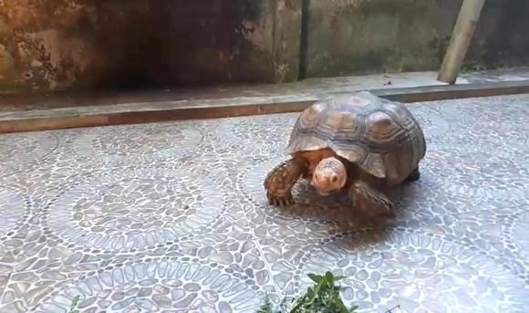 Thả cá thể rùa quý hiếm nặng gần 17kg về môi trường rừng tự nhiên ảnh 3