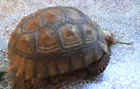 Thả cá thể rùa quý hiếm nặng gần 17kg về môi trường rừng tự nhiên ảnh 2
