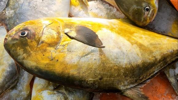 Ngư dân Hà Tĩnh trúng mẻ cá chim vây vàng khoảng 600 triệu đồng ảnh 7