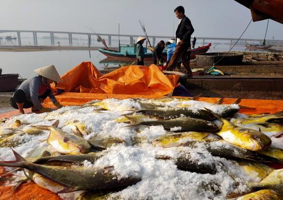 Ngư dân trúng mẻ cá chim vây vàng