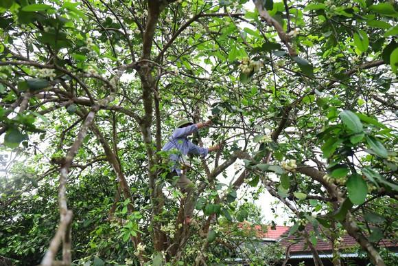Vựa bưởi Phúc Trạch vào mùa thụ phấn bổ sung tăng tỷ lệ đậu quả ảnh 3