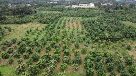 Vựa bưởi Phúc Trạch vào mùa thụ phấn bổ sung tăng tỷ lệ đậu quả ảnh 1