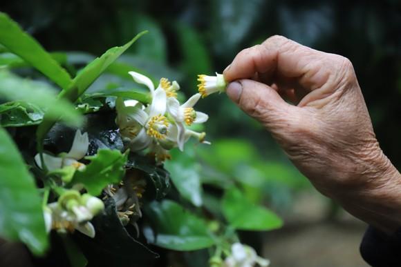 Vựa bưởi Phúc Trạch vào mùa thụ phấn bổ sung tăng tỷ lệ đậu quả ảnh 12
