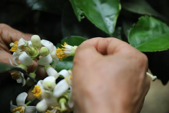 Vựa bưởi Phúc Trạch vào mùa thụ phấn bổ sung tăng tỷ lệ đậu quả ảnh 13