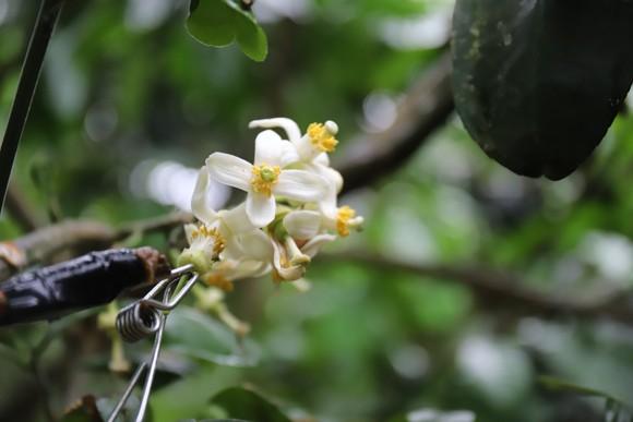 Vựa bưởi Phúc Trạch vào mùa thụ phấn bổ sung tăng tỷ lệ đậu quả ảnh 14