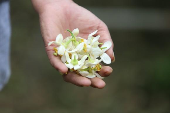 Vựa bưởi Phúc Trạch vào mùa thụ phấn bổ sung tăng tỷ lệ đậu quả ảnh 22