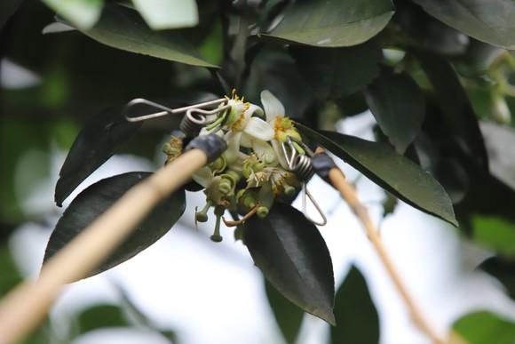 Vựa bưởi Phúc Trạch vào mùa thụ phấn bổ sung tăng tỷ lệ đậu quả ảnh 15