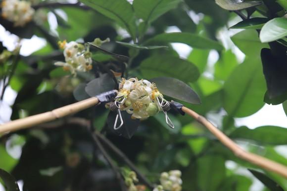 Vựa bưởi Phúc Trạch vào mùa thụ phấn bổ sung tăng tỷ lệ đậu quả ảnh 16