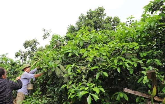 Vựa bưởi Phúc Trạch vào mùa thụ phấn bổ sung tăng tỷ lệ đậu quả ảnh 10
