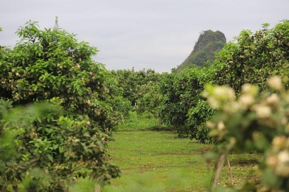 Vựa bưởi Phúc Trạch vào mùa thụ phấn bổ sung tăng tỷ lệ đậu quả ảnh 23