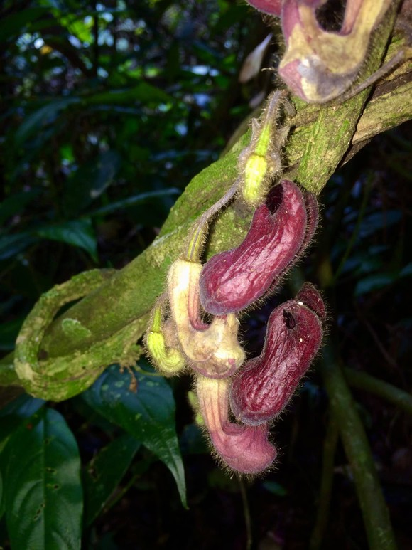 Một loài thực vật mới được phát hiện tại Vườn quốc gia Vũ Quang ảnh 2
