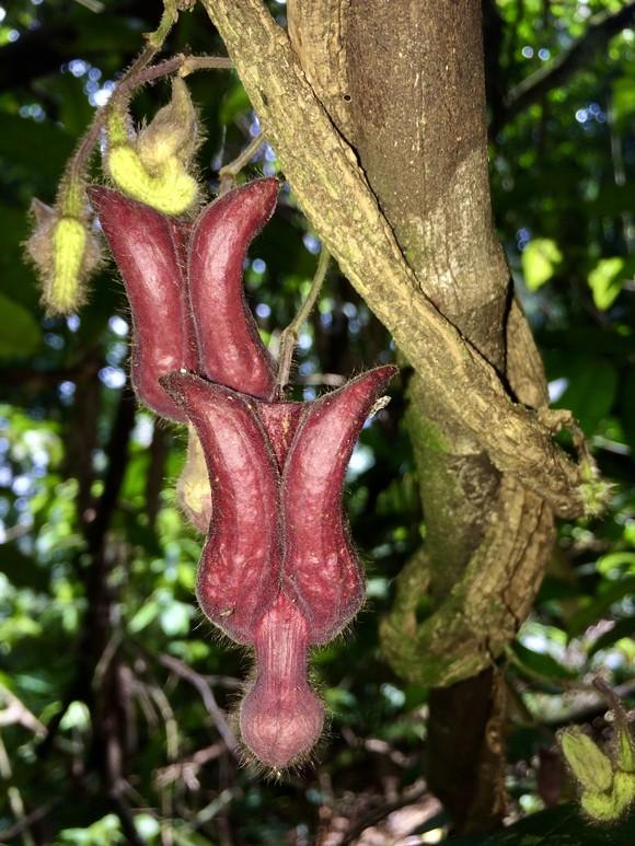 Một loài thực vật mới được phát hiện tại Vườn quốc gia Vũ Quang ảnh 3