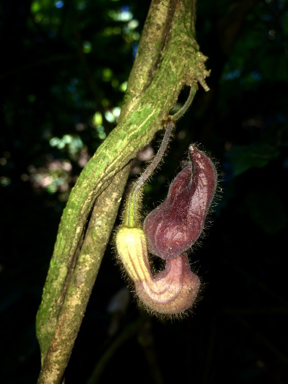 Một loài thực vật mới được phát hiện tại Vườn quốc gia Vũ Quang ảnh 1