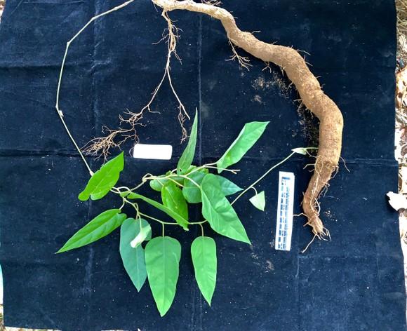 Một loài thực vật mới được phát hiện tại Vườn quốc gia Vũ Quang ảnh 4