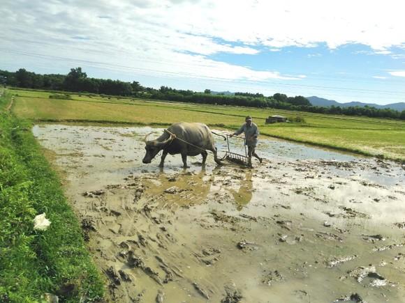 Hà Tĩnh: Hàng ngàn hecta lúa bị hư hỏng do ảnh hưởng mưa lớn phải gieo sạ lại ảnh 1