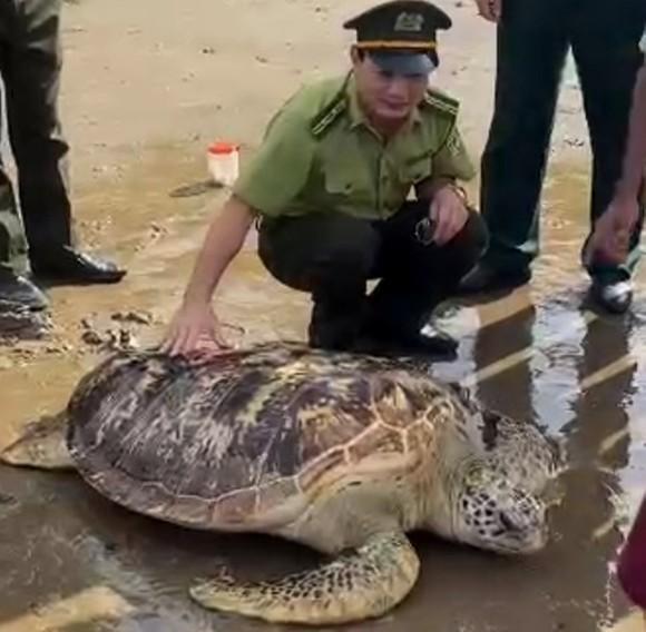 Thả về biển cá thể rùa biển quý hiếm nặng hơn 80kg ảnh 1