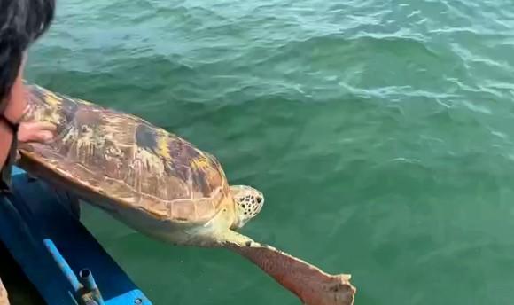 Thả về biển cá thể rùa biển quý hiếm nặng hơn 80kg ảnh 3
