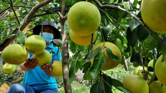 Bưởi Phúc Trạch ở Hương Khê, Hà Tĩnh vào mùa thu hoạch