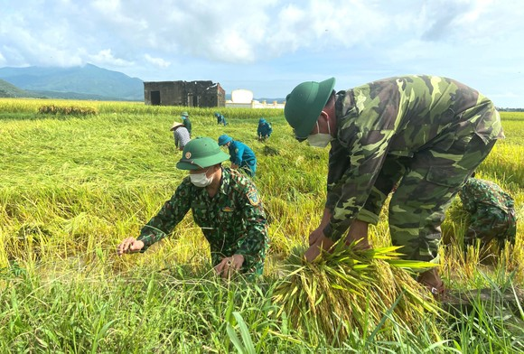 Lực lượng vũ trang giúp dân thu hoạch lúa mùa tránh bão
