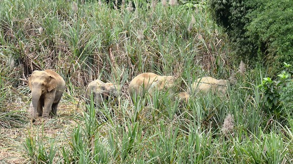 Tạo vùng sinh cảnh  cho voi rừng ảnh 1